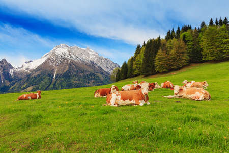 Herd of cows graze in a pasture in the Alps. Snow-capped peaks in the background.