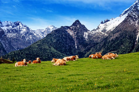 cattle grazing: Herd of cows graze in a pasture in the Alps.