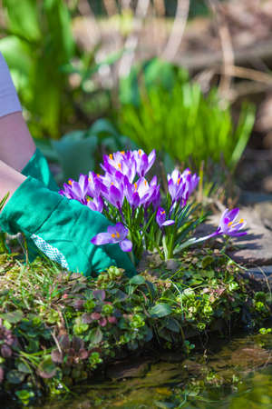 Cleaning the garden in the spring. Cropping of crocuses.