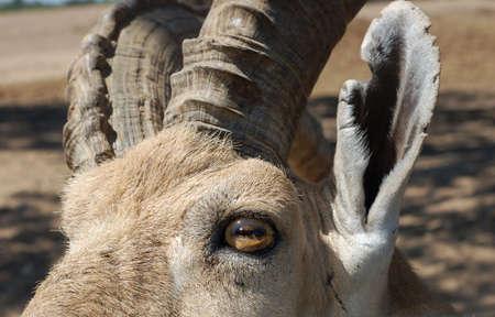 wild goat: Primer plano de la calma h�bitat de la cabra.  Foto de archivo