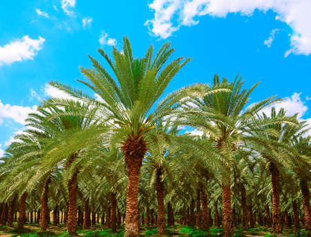 Date Palm Plantation At Oasis Near Dead Sea.