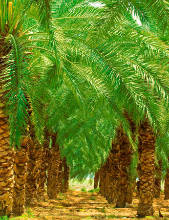 Date Palm Plantation At Oasis Near Dead Sea.