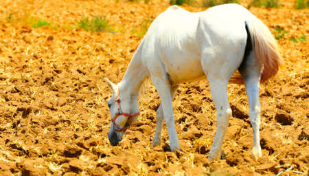 Horse Walking Alone On Freshly Plowed Field Ready For Cultivation. Stock Photo - 4951264