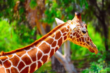Head Of Reticulated Giraffe, Girafa Camelopardalis Reticulata.