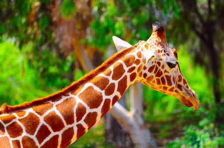 camelopardalis reticulata: Head Of Reticulated Giraffe, Girafa Camelopardalis Reticulata.