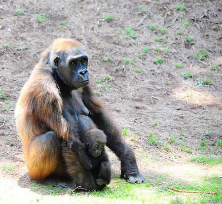 the offspring: Abatida Loving Gorilla femenina con una joven Offspring.