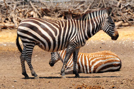 striping: Zebra, Each Animal Has An Individual Striping Pattern.