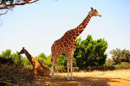 camelopardalis reticulata: Couple Of Reticulated Giraffes, Girafa Camelopardalis Reticulata