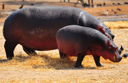 Hippopotamus, During The Evening They Go Out To Pasture photo