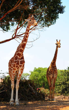 camelopardalis reticulata: Two Reticulated Giraffes, Girafa Camelopardalis Reticulata, Near The Tree. Stock Photo