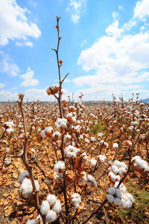 harvests: Ripe Cotton Bolls On Branch Ready For Harvests Stock Photo