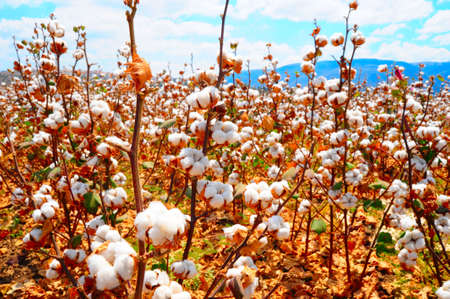 cotton crop: Ripe Cotton Bolls On Branch Ready For Harvests Stock Photo