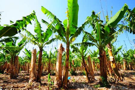 Banana Plantation After Gathering In The Harvest Standard-Bild