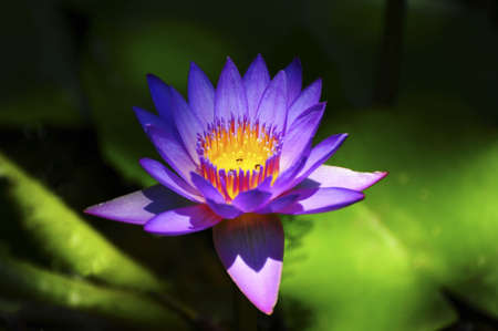 Blue Water Lily, nenuphar, In The Pond Stock Photo - 6242055