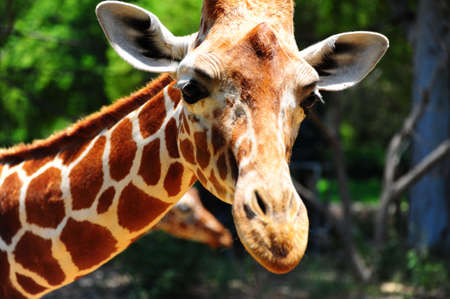 camelopardalis reticulata: Head Of Reticulated Giraffe, Girafa Camelopardalis Reticulata