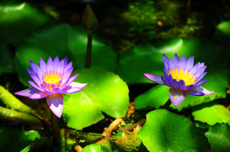 nenuphar: Blue Water Lily, nenuphar, In The Pond