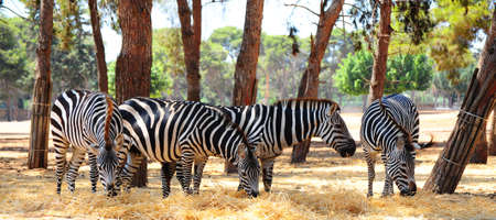 striping: Zebra, Each Animal Has An Individual Striping Pattern