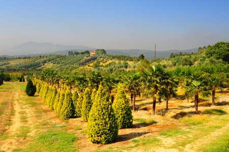 Arbres de Cypress dans le jardin de la p�pini�re en Toscane, Italie Banque d'images - 7758740