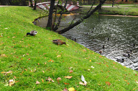 The Pond With Wild Ducks In Autumn Park Stock Photo - 8076425
