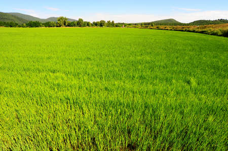 paddy fields: Green Paddy Field In The Hills Of Toscana