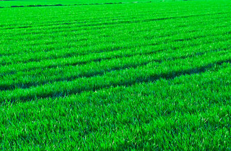 Natural Background of Fresh Green Grass photo