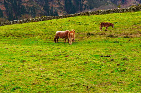 Horses Grazing on Alpine Meadows on the Slopes of The Pyrenees photo
