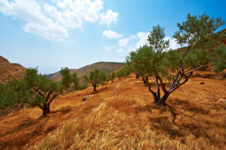 Olive Grove on the Slopes of the Mountains of Samaria, Israel Stock Photo - 9728637