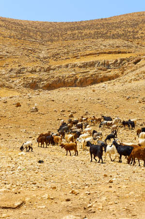 Herd of Goats Grazing in the Mountains of Samaria, Israel Stock Photo - 9893266