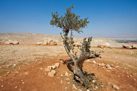 Big Stones and Olive  In Sand Hills of Samaria, Israel photo