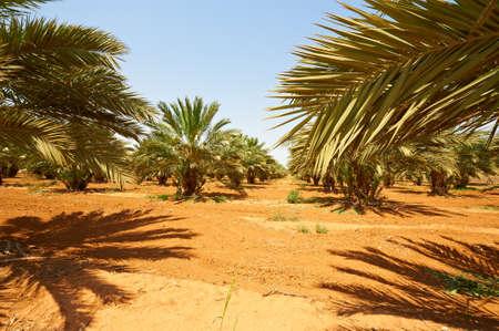 date tree: Plantation of Date Palms in the Jordan Valley, Israel