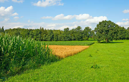 fodder corn: Plantation of Fodder Corn and Wheat Fields in Southern Bavaria, Germany