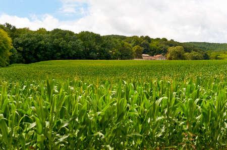 fodder corn: Plantation of Fodder Corn in France