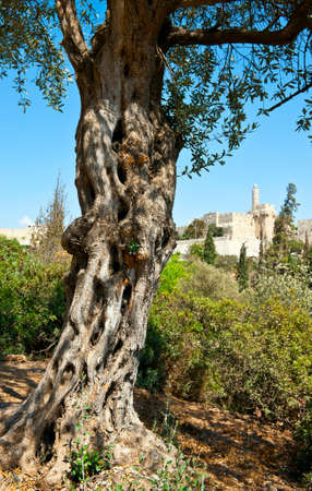 The Old Olive Tree on the Background of the Ancient Walls of Jerusalem photo