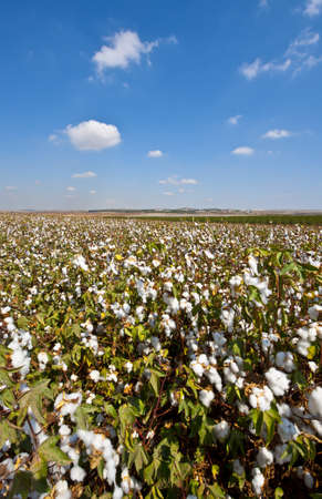 Ripe Cotton Bolls On Branch Ready For Harvests Stock Photo