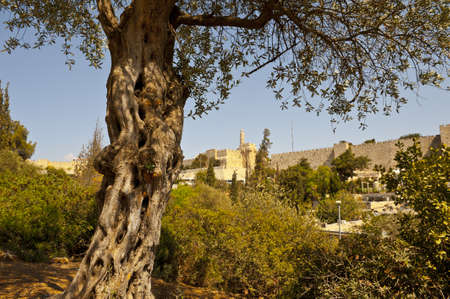 mount of olives: The Old Olive Tree on the Background of the Ancient Walls of Jerusalem