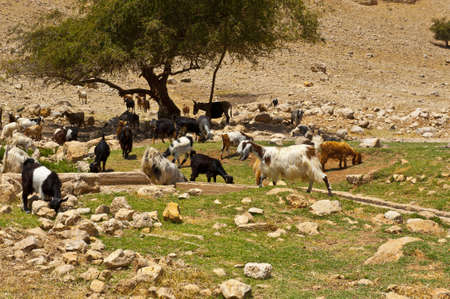 Herd of Goats Grazing in the Mountains of Samaria, Israel