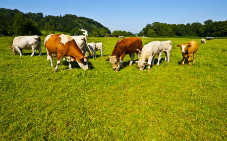 beef cattle: Cows Grazing on Pasture in Southern Bavaria, Germany Stock Photo