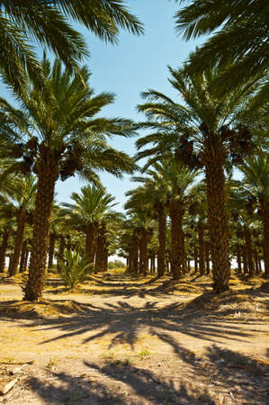 israel agriculture: Plantation of Date Palms in the Jordan Valley, Israel