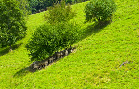 Sheep Grazing in the Alpine Meadows of Bavaria Stock Photo - 11671845