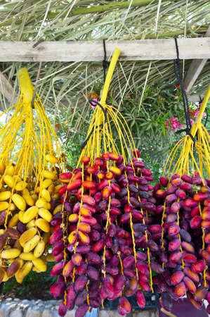 Multi-colored Dates in the Israeli Market photo