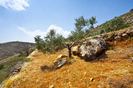 Olive Grove on the Slopes of the Mountains of Samaria, Israel Stock Photo - 11671842