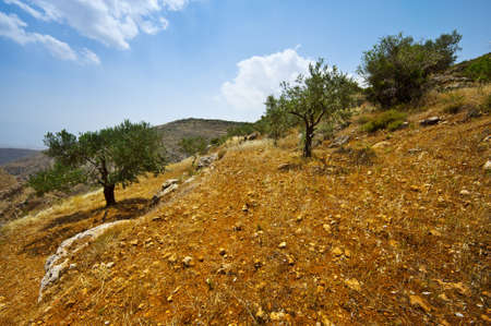 israel farming: Olive Grove on the Slopes of the Mountains of Samaria, Israel