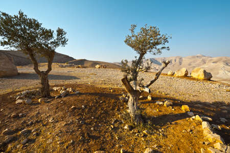 Olive Trees on the Slopes of the Mountains of Samaria, Israel photo