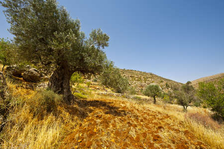 Olive Grove on the Slopes of the Mountains of Samaria, Israel photo