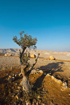Olive Tree on the Slopes of the Mountains of Samaria, Israel photo