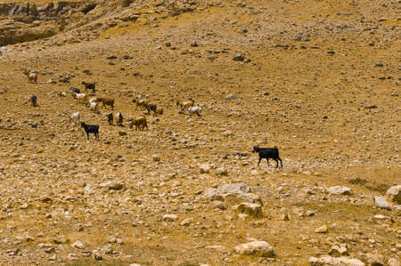 Herd of Goats Grazing in the Mountains of Samaria, Israel Stock Photo - 12396151
