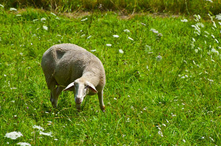 Sheep Grazing in the Alpine Meadows of Bavaria Stock Photo - 12396143
