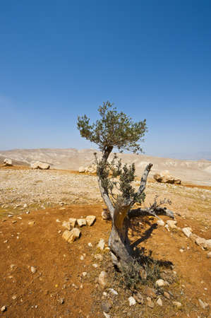 israel agriculture: Olive Tree on the Slopes of the Mountains of Samaria, Israel Stock Photo