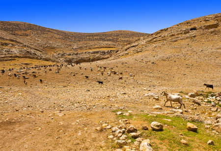 Herd of Goats Grazing in the Mountains of Samaria, Israel Stock Photo - 12396168