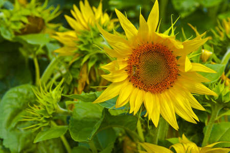 The Bee Collects Nectar from Sunflower photo